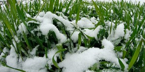 psenica-zima-ozima-sneg-tanjug-jaroslav-pap-jpg_660x330