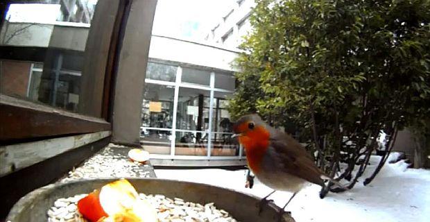 zvuk ptica
