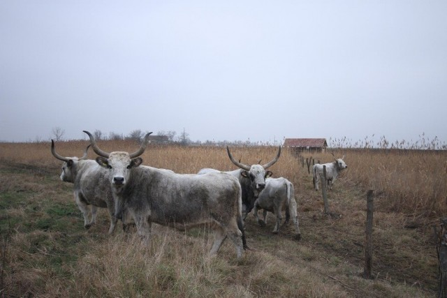 podolsko govece