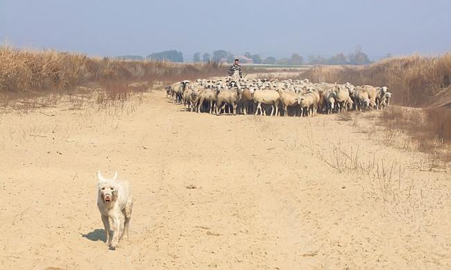 ovce-na-trasi-y-kraka
